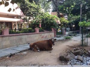 La umbra dormea o vaca bine hranita